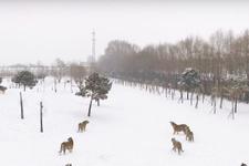 Sibirya kaplanları ekip çalışmasıyla drone avladı