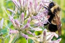 Nesli tükenen canlılar arasında artık arı da var