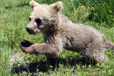 Yola inerken bulundu dişi boz ayı yavrusu koruma altında