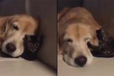 Yavru kedi ile köpeğin sevimli arkadaşlığı