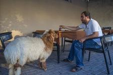 En yakın arkadaşı kuzu beraber kahvehaneye bile gidiyorlar