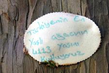 En yaşlı porsuk ağacına 4113'ncü yaş günü kutlaması