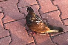 Silivri Cezaevi üzerinde uçarken yakalandı esrarengiz kuş
