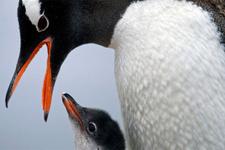 Şili penguenlerin geleceği için maden aramaktan vazgeçti