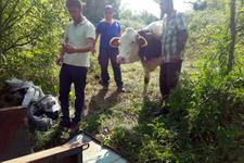 Ormanda doğum yapan inek 3 gün sonra köye getirildi