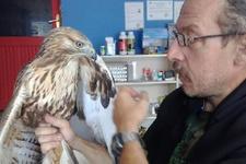 Yaralı şahin tedavi sonrası doğaya yeniden salındı