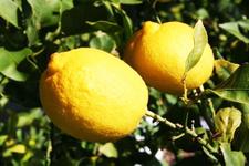 Bahçeden çaldıkları 1 ton limonla yakalandılar