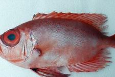Mandagöz balığı ilk kez Türk sularına girdi