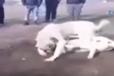 Sosyal medyada tepki yağdı! Köpekleri dövüştürüp çocuklara izlettirdiler