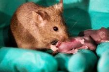 Erkeklerin sonu geliyor! Bilim insanları iki anneden fare üretti