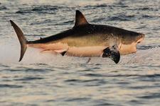 Avustralya'da köpek balığı tekneye atladı