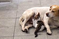 Yavru kediye annelik yapan köpek