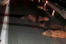 Panelvan domuz sürüsüne çarptı 17 domuz telef oldu