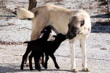 Kangal köpeği  annesiz kuzulara annelik yapıyor
