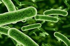 Çürümüş nar bakterisi selüloz üretiminde kullanılacak