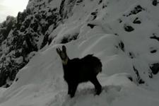 Çengel boynuzlu dağ keçisinin dronela imtihanı