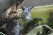 Dünyada sadece Mersin'de var! Anadolu dikenli faresi koruma altında
