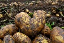 Patates tarlaları çamur oldu fiyatlar fırladı işte son rakam