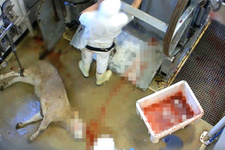 Dehşet verici görüntüler! Hayvanlara yapılan işkence böyle kaydedildi
