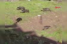 Aç kalan yaban domuzları şehre indi