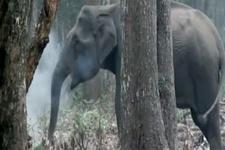Keyiflenmek için duman çeken fil