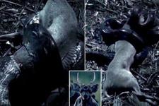 Dev piton yılanı geyiği böyle yuttu!