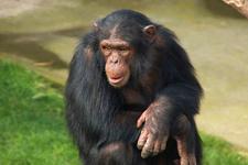 Maymunlar eve girip bebek çaldı! Sonu ise...