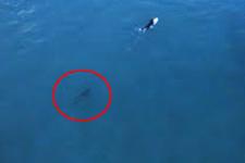 Sörfçüleri takip eden Balina saniye saniye görüntülendi