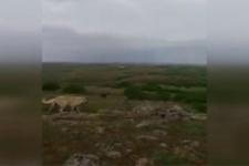 Kangal köpeği ayıya böyle meydan okudu!