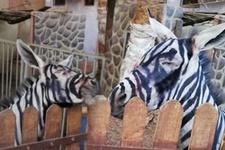Eşeği boyayıp zebra diye yutturdular! Dünyanın konuştuğu olay