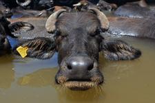 Şanlıurfa'da sıcaktan bunalan mandalar derede serinliyor