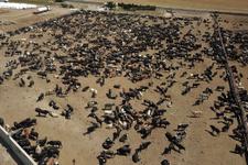 İşte Ankara'daki 'şarbon'lu çiftlik! Büyük endişe yaşanıyor