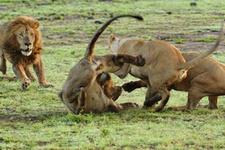 Dişi aslanlar erkek aslanı az kalsın parçalıyordu!