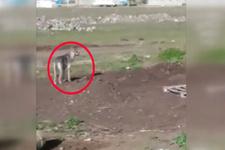 Ardahan'da korkutan görüntüler! Şehir merkezinde görüntülendi
