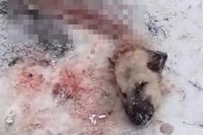 Sivas'ta köye inen kurtlar Kangal köpeğini yedi geriye başı kaldı