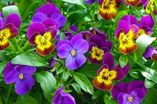 Adeta şifa deposu! Bu çiçeğin adını duyunca çok şaşıracaksınız