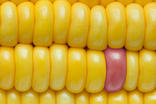 6.000 çalışma incelendi: GDO'lu mısır güvenli
