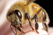Bilecik'te arı saldırısı öldürdü