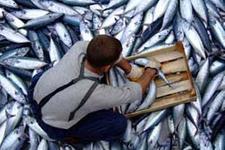 İstavrit balıkçıların yüzünü güldürdü