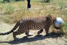 Susuz kalan leopar kafasını kaba sıkıştırdı