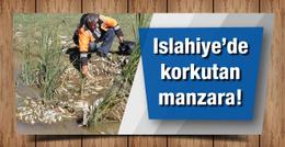 Islahiye'de balıklar toplu halde telef oldu
