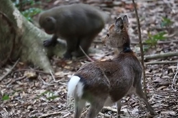 Çiftleşmek üzereyken görüntülenen maymun ile geyik!