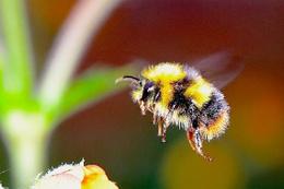 İlk kıyamet alameti! Einstein'in arılarla kehaneti gerçekleşiyor