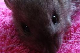 Felçli fareler kök hücre tedavisiyle yürüdü