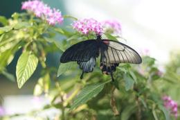Sol kanadı erkek sağ kanadı dişi bu kelebek çift cinsiyetli