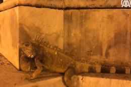 Ekvador'daki park iguanaların evi oldu