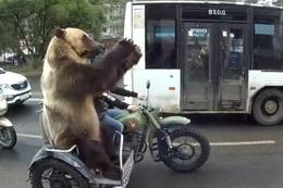 Rusya'da sıradan bir gün: Motosikletin üzerindeki ayı