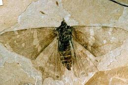 Eski çağlardan kalma kelebek fosilleri bulundu
