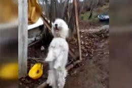 Kemeneçe sesi duyunca yerinde duramayan köpek