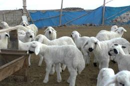 300 koyun dağıtımı için bakan net tarih verdi işte o tarih!